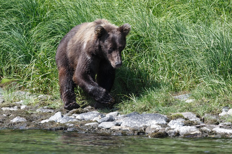 Wildlife of Kamchatka Peninsula: young Kamchatka brown bear walks along in the natural habitat - on the river bank on a sunny day. Russian Far East Kamchatka Region Eurasia. photo