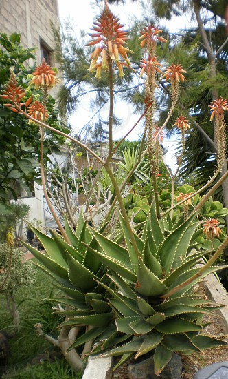 aloe  flower photo