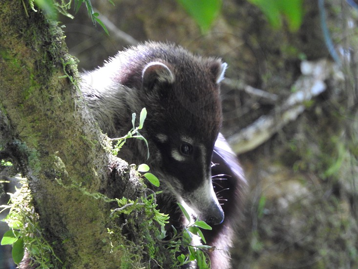 Coati sighting in the canopy forest photo