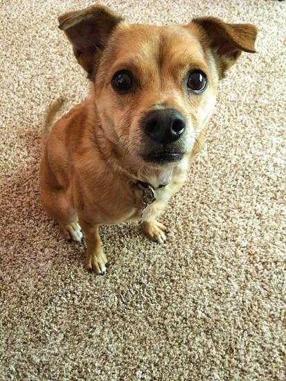 Chug Chihuahua/Pug photo