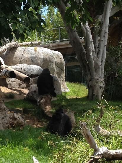 Gorilla; Animal; Zoo; Wildlife photo