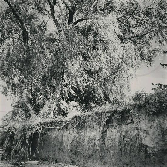 grayscale photo of tree photo