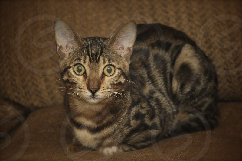 Bengal kitten staring down the camera. photo