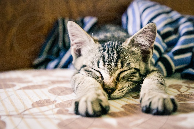 Cat Kitten Sleeping Adorable Cute Bed Nap Cat Face Big Ears Cat Nap Innocent Close Up Close-up Pet Companion Kitty Feline Animal Male Paw Sleepy Stripe Tabby Tired Young Domestic Animal Looking Look Domestic Cat Eastern Europe Europe European Shorthair Fur Furry Indoor Portrait Small photo