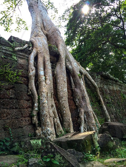 Tree roots temple giant roots angkorwat cambodia tree roots trees distort photo