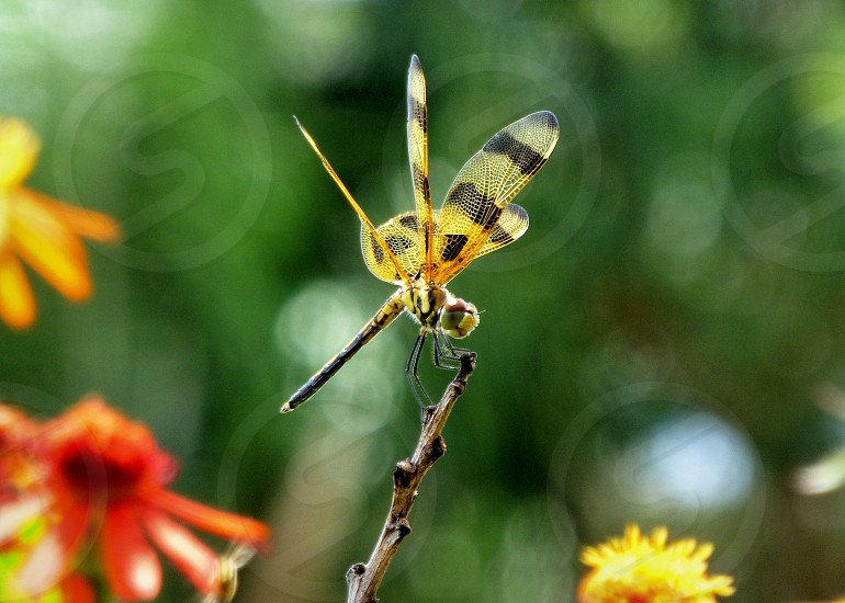 dragonfly ballerina dragonfly insect nature dance smile photo