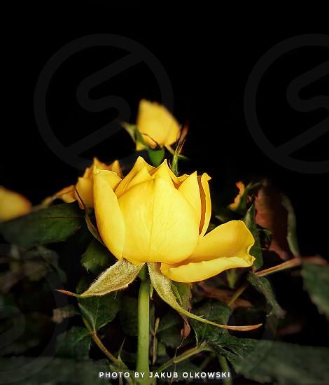 flower Rose Yellow yellowFlower edit romanse photo
