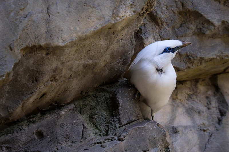 FUENGIROLA ANDALUCIA/SPAIN - JULY 4 : Bali Starling (Leucopsar rothschildi) at the Bioparc Fuengirola Costa del Sol Spain on July 4 2017 photo