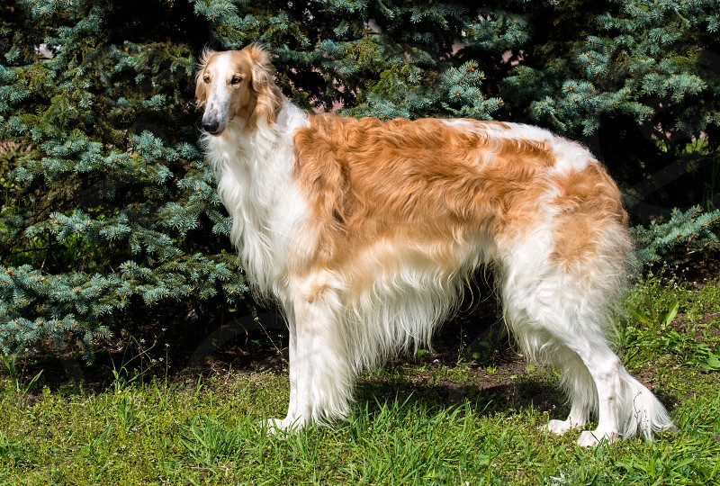 Borzoi Russian brown. The Borzoi Russian dog is on the green grass. photo