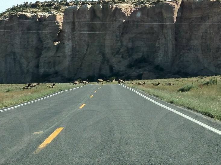 Elk on highway 117 NM photo