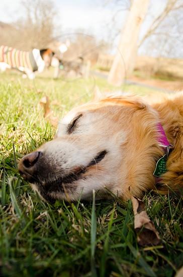 Dreaming dog photo