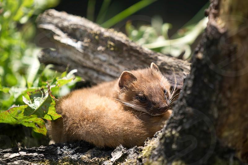 Least Weasel (Mustela nivalis) photo