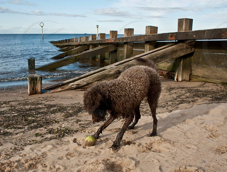 Wet dog playing with ball on beach in front of a sea wall (groin). photo