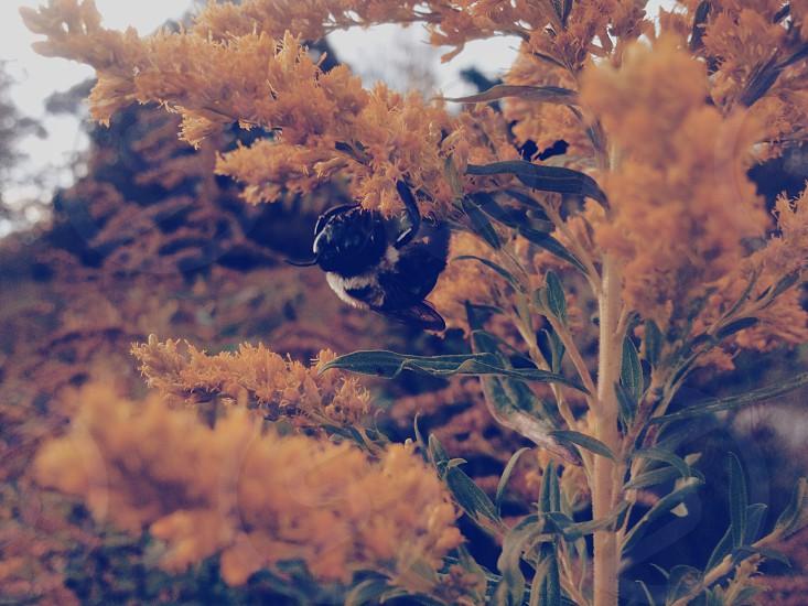 bumblebee on yellow flower photo