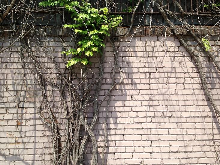 Vines brick wall Houston Texas grunge  photo