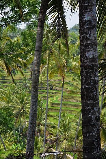 Rice Terraced Fields in Bali Indonesia photo