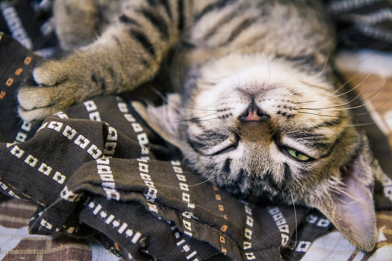 A sleepy tabby European Shorthair kitten slightly opening his right eye while napping on a brown shirt. photo
