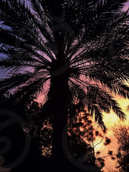 Florida palm tree with sunset photo