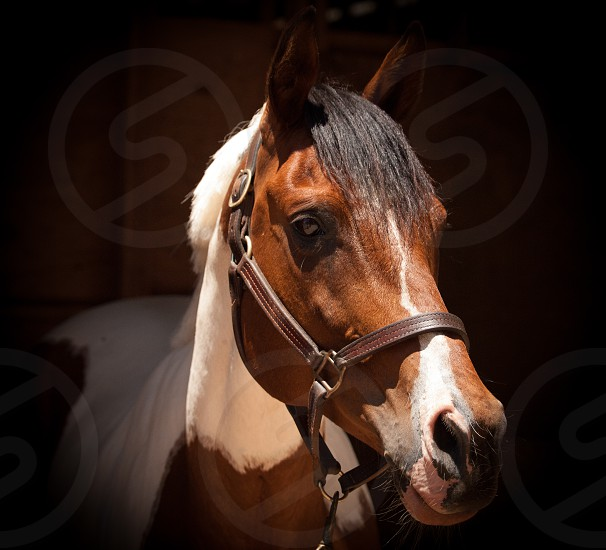 paint horse horse equine halter animal farm nature stable photo