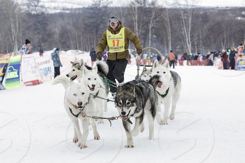 ESSO VILLAGE KAMCHATKA RUSSIA - MARCH 8 2013: Running dog sledge team Kamchatka musher Alexander Chuprin. Kamchatka traditional Dog Sled Race Beringia. Eurasia Russian Far East Kamchatsky Krai Bystrinsky Region. photo