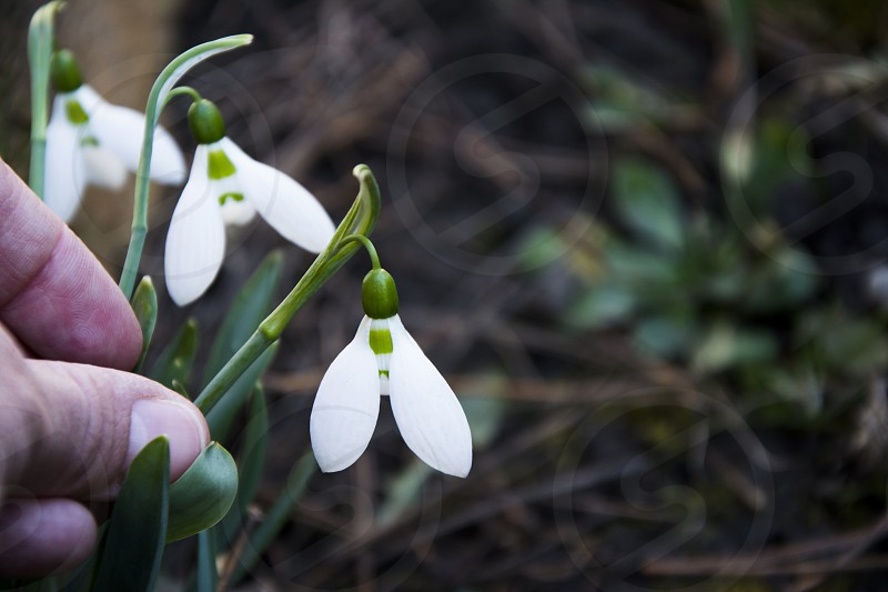 Woman hand carrying for three snow drops flowers in early spring. photo
