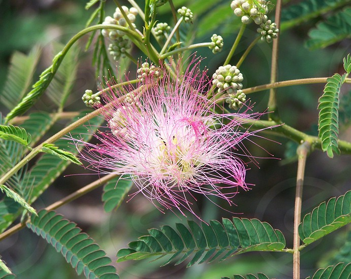 pink mimosa flower closeup photo photo