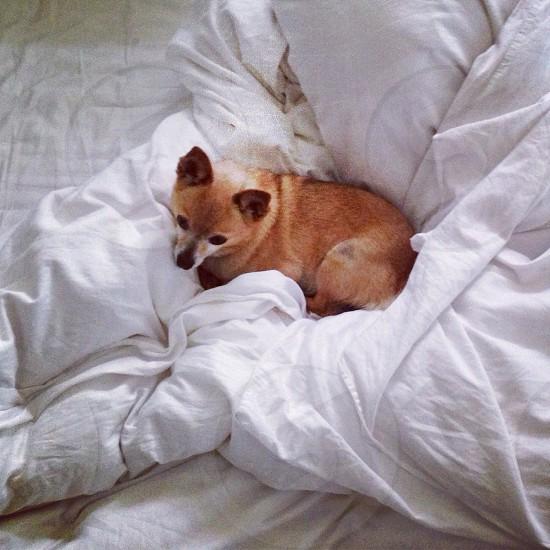 pomeranian puppy on white bed sheet photo
