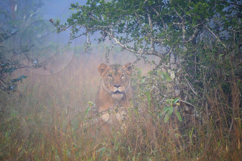 Lioness in the mist photo