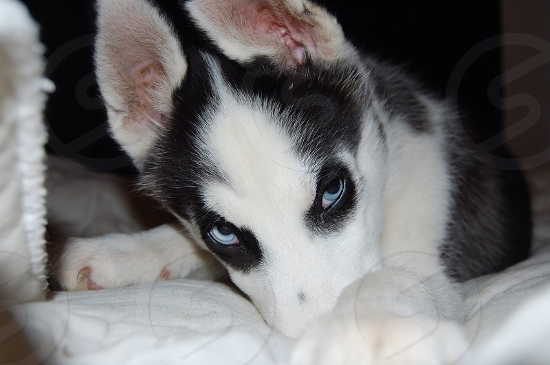 Siberian Husky Puppy. photo