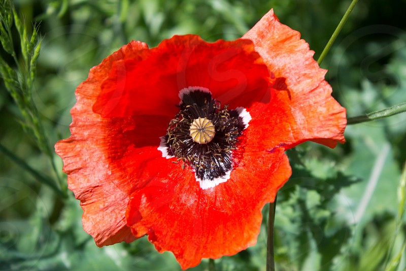 Poppy on the summer meadow photo