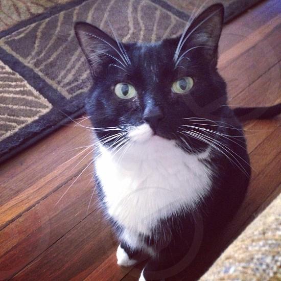 Tuxedo Kitty photo