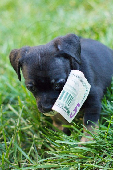 black and brown puppy with five u.s. dollar bill on mouth photo