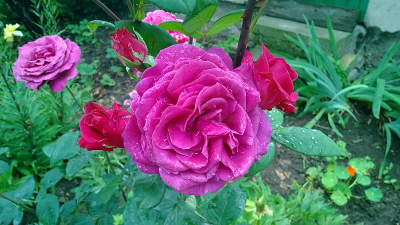 wet roses photo
