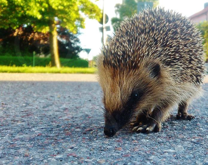 hedgehog on grey road photo