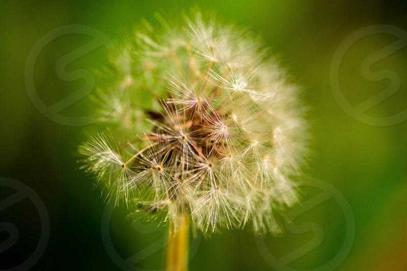 dandelions flower photo