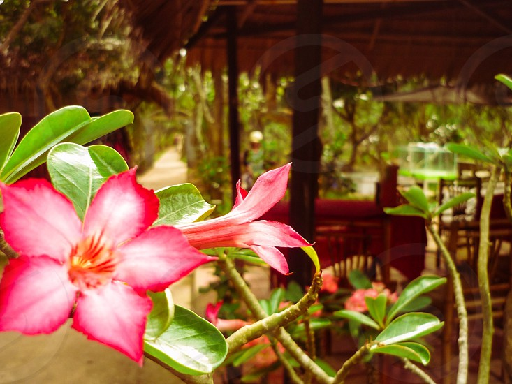 selective focus photography of red and pink adenium flower photo