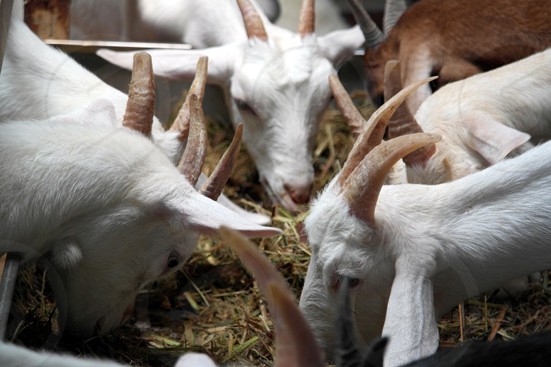 4 white goats and brown goat eating hay closeup shot photography photo