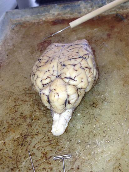 Sheep Brain photo