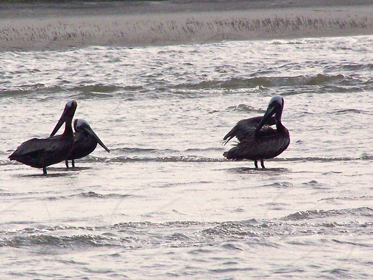 Pelicans on the coast of South Carolina. photo
