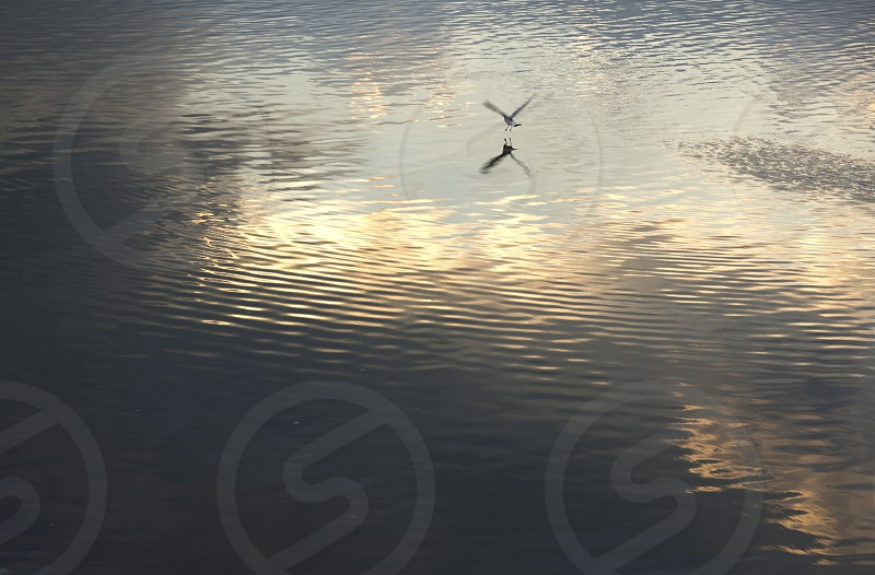 A bird touches down on the sea at dusk photo