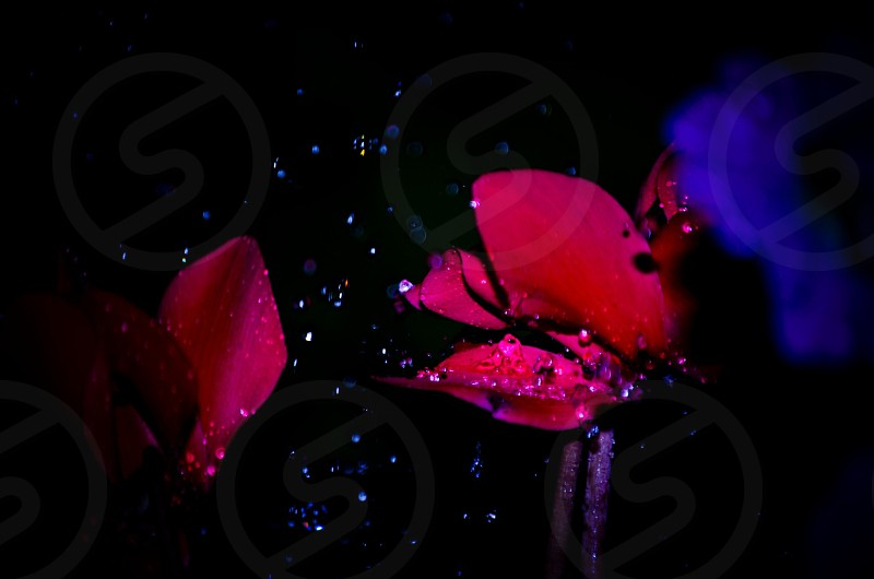 pink flowers and rain drops photo