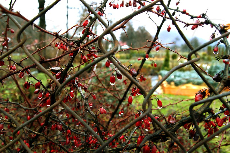 garden view with berries in the foreground photo