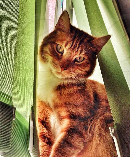 orange and brown striped cat  photo