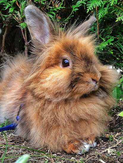 brown long haired rabbit photo