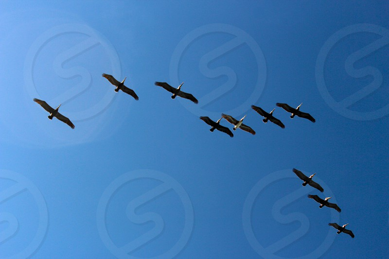 Flock of pelicans flying high in the clear blue sky. photo