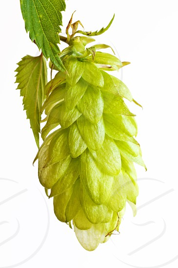 hop beer spice and medicine photo