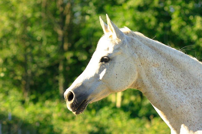 Grey Arabian photo