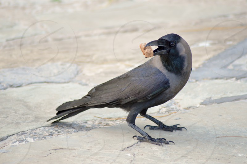 Black Crow laid on stone floor with a piece of bread in the beak in Mombasa Kenya photo