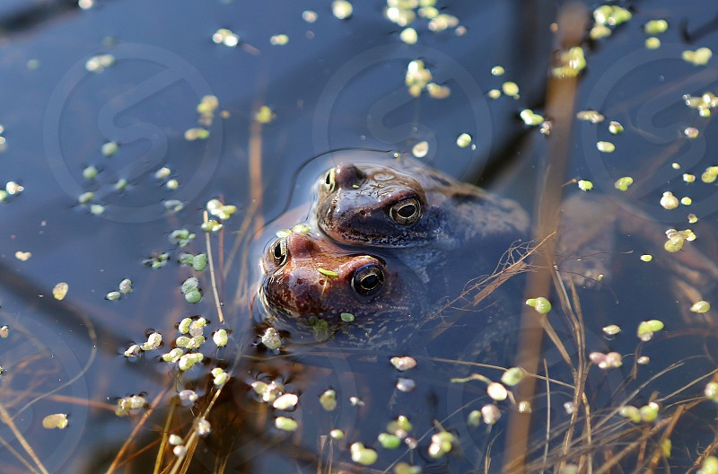 Frogs  marsh pond frog nature  swamp plant spring photo