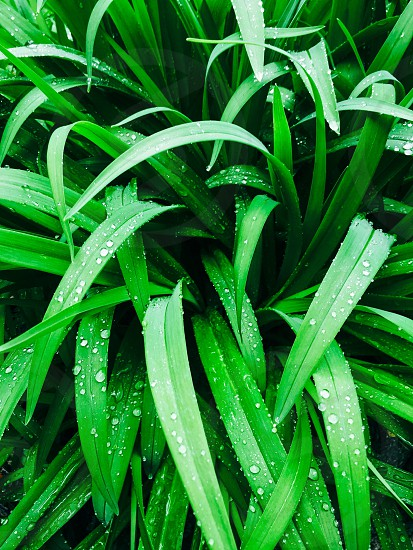 Greenlilyday lily wet rainfoliageshootsbeadlushleafdroplets  photo